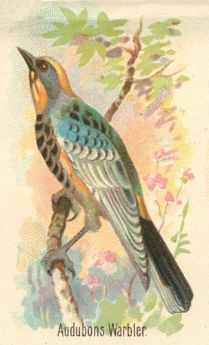 Audubons-Warbler