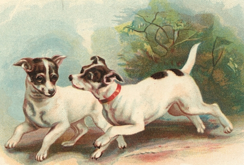 Fox Terriers - Caption Removed
