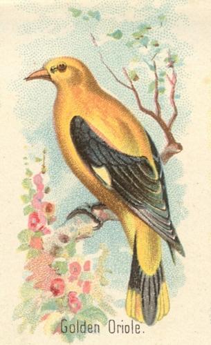 Goldon-Oriole