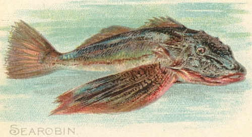 Searobin-Sea-Robin