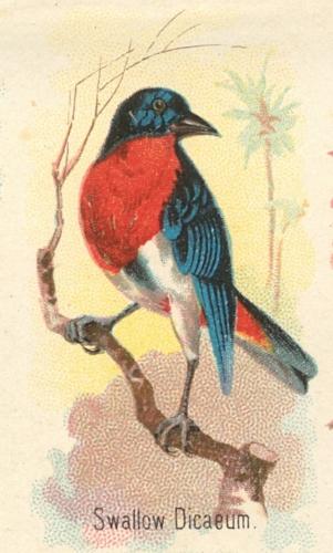 Swallow-Dicaeum