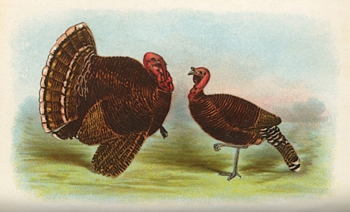Bronze Turkeys