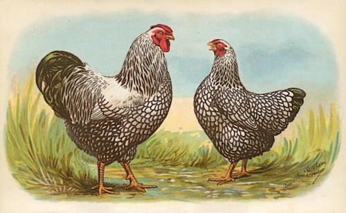 Louis P. Graham: Biggle Poultry Book