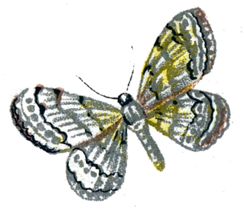 Acidalia decorata