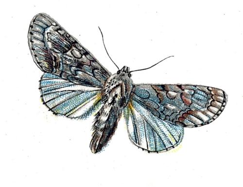 Acronycta aceris