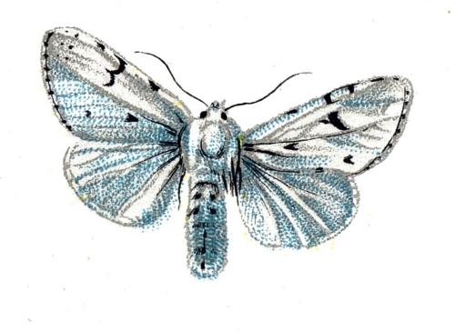 Acronycta leporina