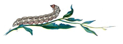 Agrotis pronuba caterpillar