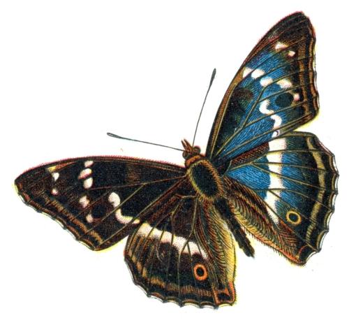Apatura iris male