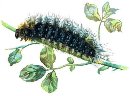 Arctia caja caterpillar