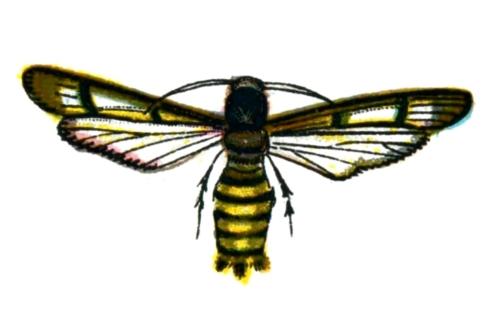 Bembecia hylaeiformis