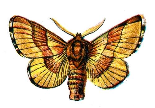 Bombyx neustria