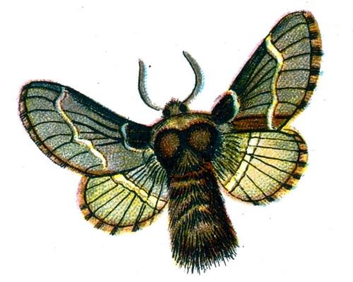 Bombyx populi