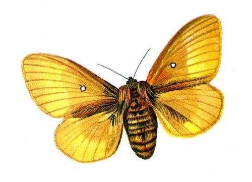 Bombyx quercus female