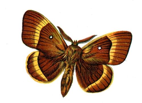Bombyx quercus male