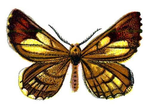 Bupalus pinaria male