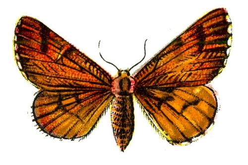 Bupalus piniaria femelle