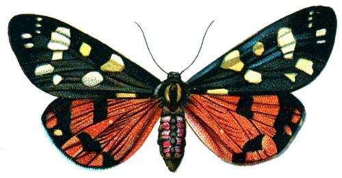 Callimorpha dominula