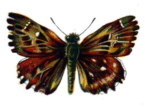 Carcharodus alceae