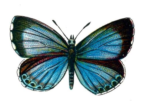 Celastrina argiolus femelle