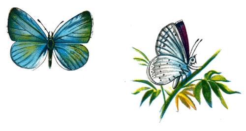 Celastrina argiolus male