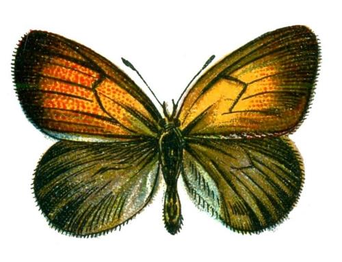 Coenonympha arcania