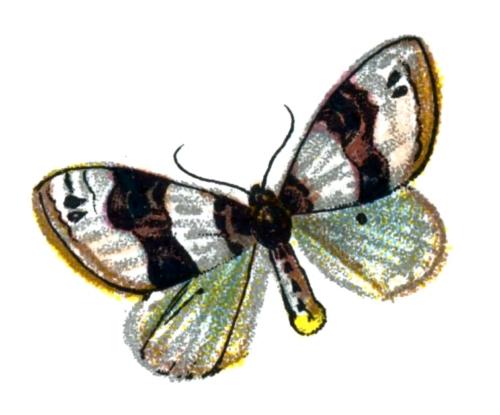 Cosmorhoe ocellata