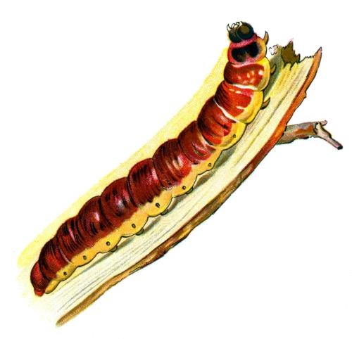 Cossus cossus caterpillar