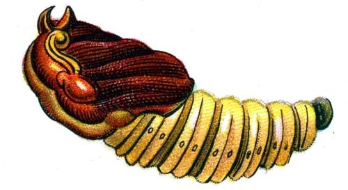 Cossus cossus pupa