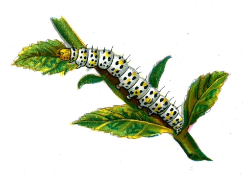 Cucullia verbasci caterpillar