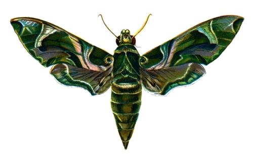 Deilephila Nerii
