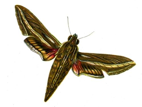 Deilephila celerio