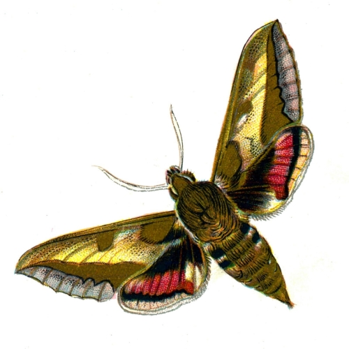 Deilephila euphorbiae