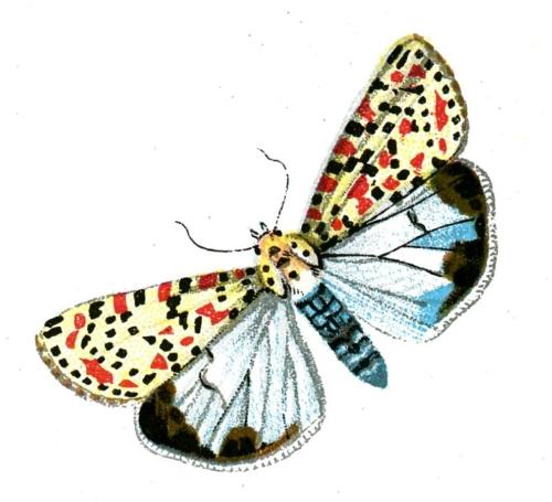 Deiopeia pulchella