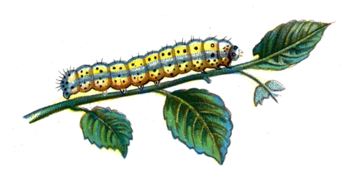 Diloba caeruleocephala caterpillar