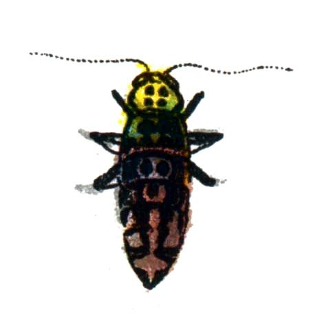 Erannis defoliaria female