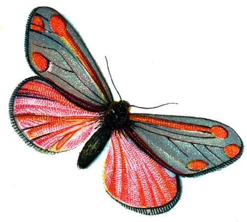 Euchelia jacobaeae