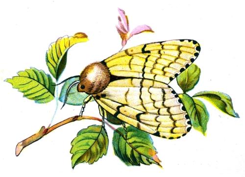 Ocneria dispar female