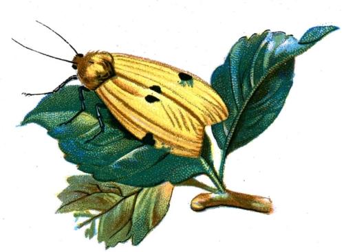 Gnophria quadra