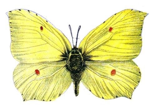 Gonepteryx rhamni male