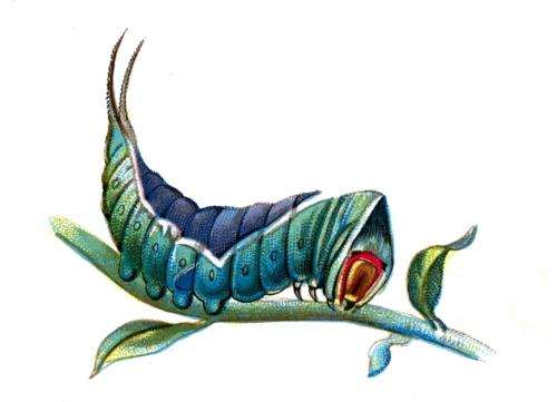 Harpyia vinula caterpillar