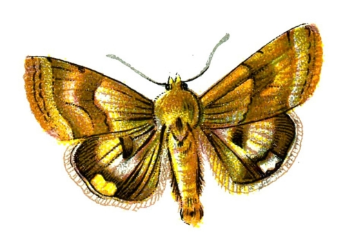 Heliothis dipsaceus