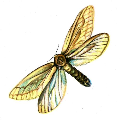 Hepialus humuli female