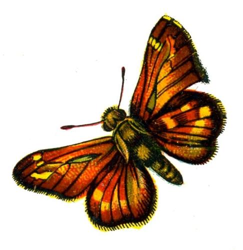 Hesperia comma femelle