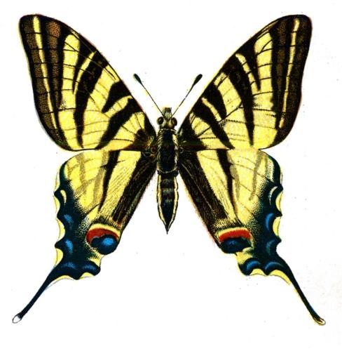 Iphiclides podalirius