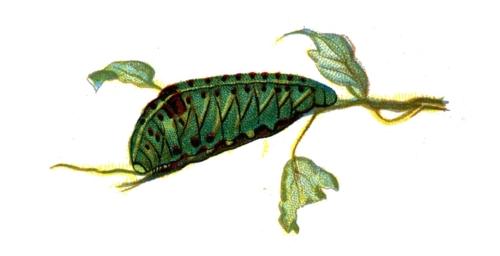 Iphiclides podalirius caterpillar