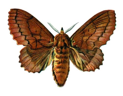 Lasiocampa quercifolia