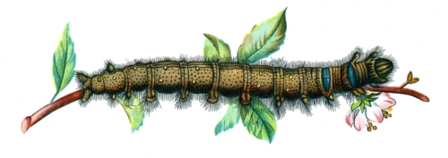 Lasiocampa quercifolia caterpillar