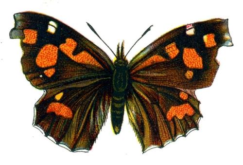 Libythea lepita