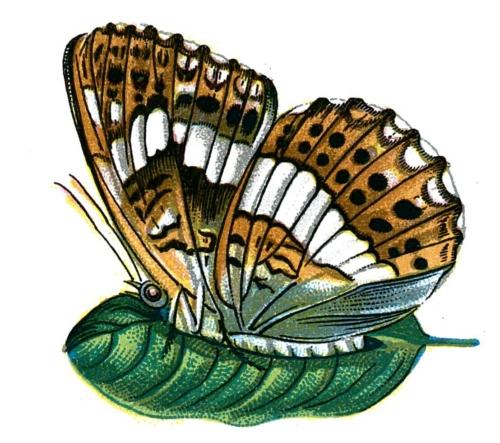 Limenitis camilla (verso or underside)