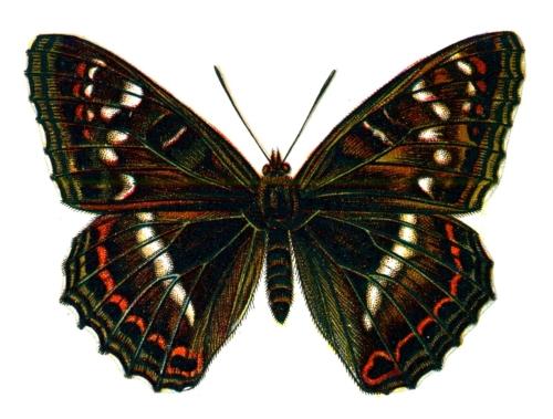 Limenitis populi male